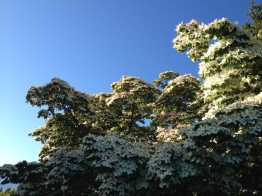 A spectacular Asian Dogwood in Queen Elizabeth Park
