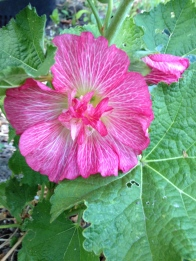 Blossom from the first hollyhock I've grown.
