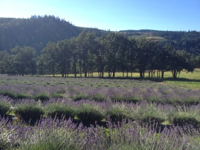 Lavender farm near Mount Hood