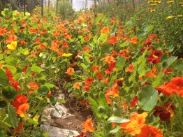A greenhouse of nasturtiums at Fraser Commons Farm in Langley