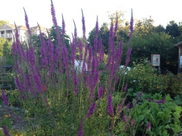 In Strathcona Community Garden