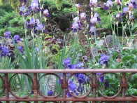 Irises behind a rusty cast iron fence, near the corner of Adanac and Commercial Dr.