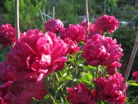 Peonies, not mine, in Strathcona Community Garden