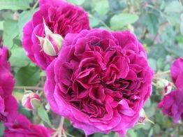 Seen at the Portland Rose Garden